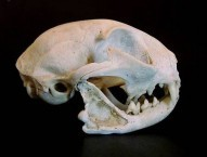 Cat Skull, side view