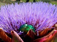 Rose Beetle on Artichoke