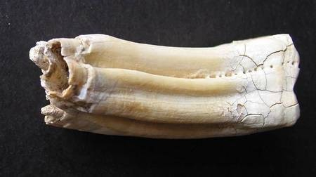 Cow Tooth