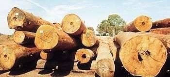 Above: Blackbutt logs in the J. Notaras & Sons yard at South Grafton.