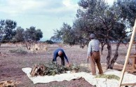 Harvesting the olives