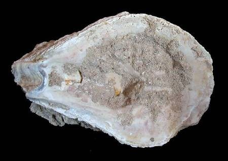 Giant Oyster