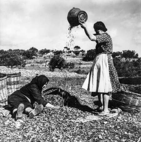 Picking olives in the 1950s