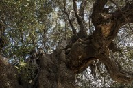 Olive, the Blessed Tree: a new open submission photographic exhibition