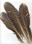 Mottled Peacock Feathers