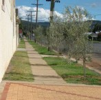 Olive trees planted adjacent to the Roxy 'complex' Bingara