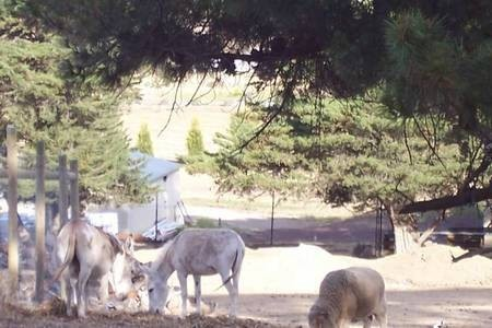 Two donkeys and a sheep grazing in the surounds of the Monastery at Geelong.