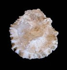 Common Oyster shell
