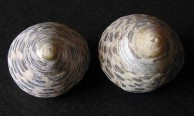 Thick Top Shells